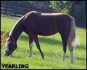 GoldNDove Yearling TEXT
