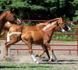 Gold N Dove Weanling