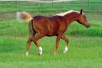 Royal Paarden 7 Mos B